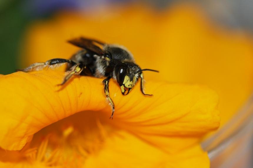 IMG_9602-European Wool-carder bee (Anthidium manicatum)