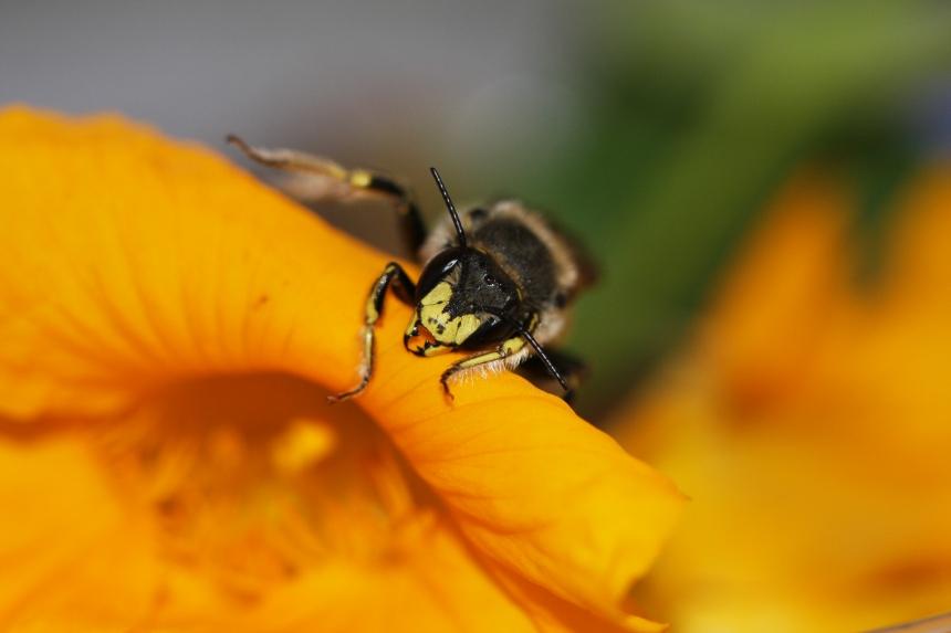 IMG_9603-European Wool-carder bee (Anthidium manicatum)
