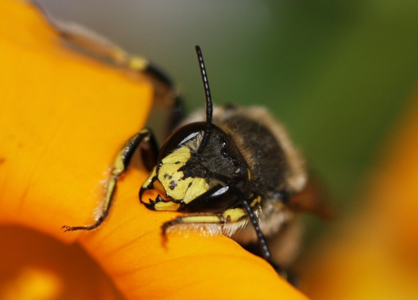 IMG_9604-European Wool-carder bee (Anthidium manicatum)