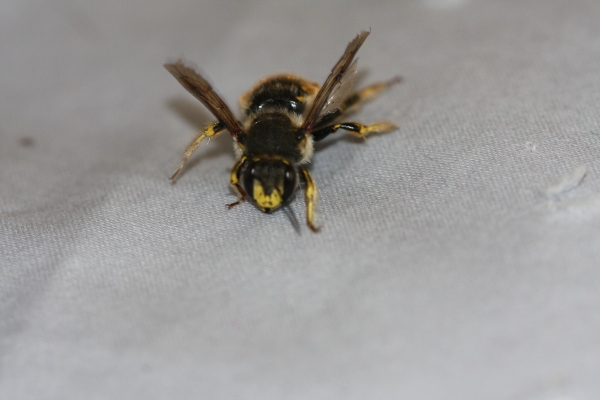 European Wool-carder bee (Anthidium manicatum)