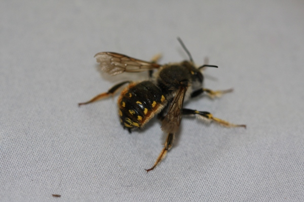 European Wool-carder bee (Anthidium manicatum)
