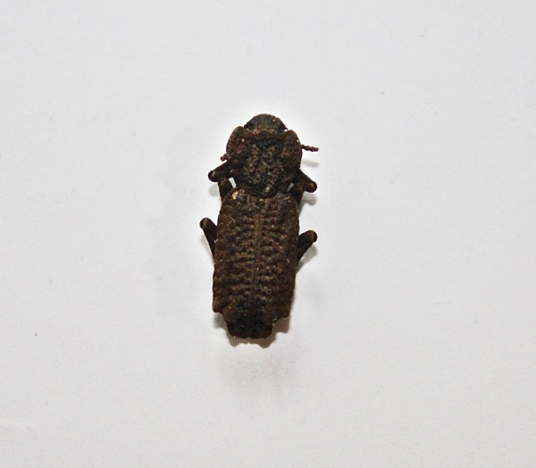 Ironclad beetle - Zopheridae