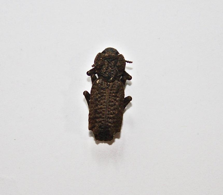 Ironclad beetle - Zopheridae
