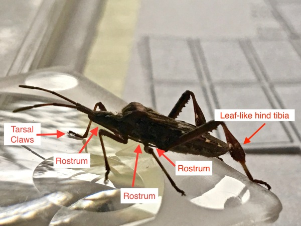 western-conifer-seed-bug-leptoglossus-occidentalis