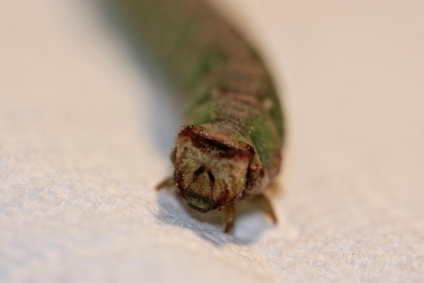 Biston betalaria larva
