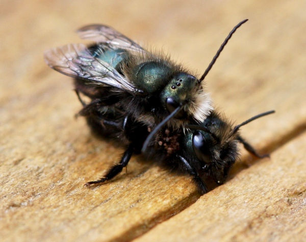 Osmia spp.  Mason bees