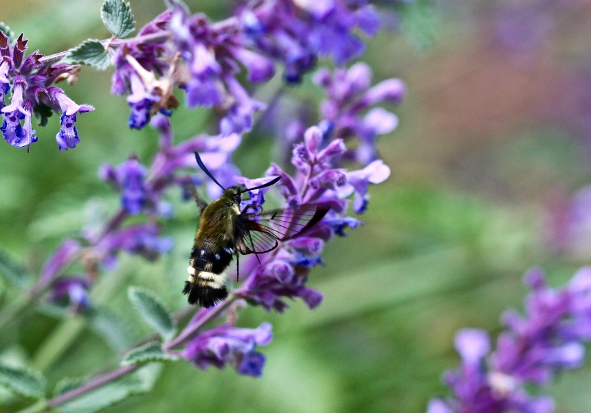 Hemaris diffinis on Catmint